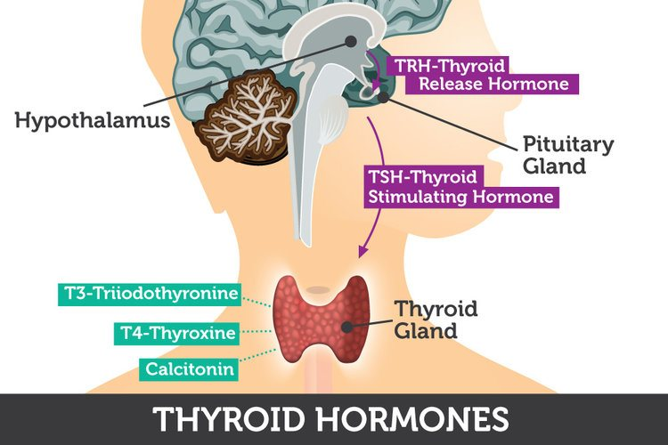 thyroid-hormones Sydney CBD